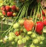 strawberry farm cream tea corwall
